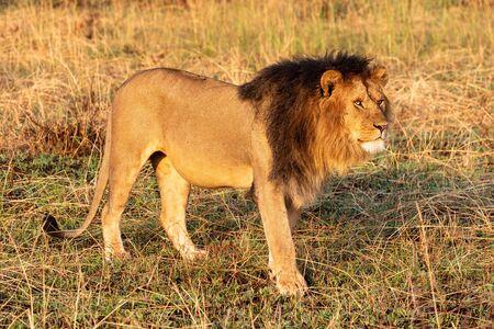 Male lion walks through grass turning head Standard-Bild - 142538772