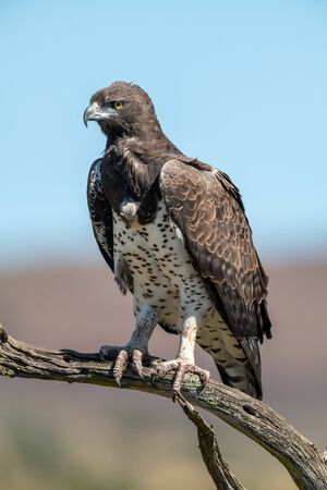 Martial eagle looks out from dead branch Standard-Bild - 142538801