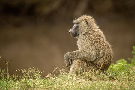 Olive baboon sits in grass by river Standard-Bild