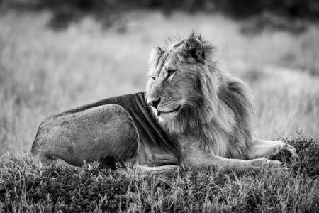 Mono male lion lies turning head back