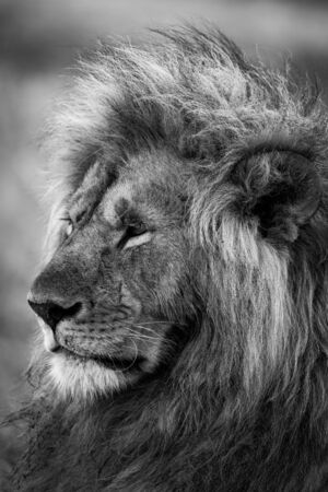 Mono close-up of head of male lion