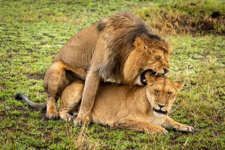 Mating male lion bites ear of female