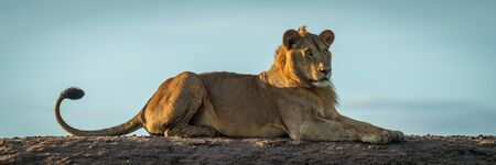 Panorama of male lion lying on bank