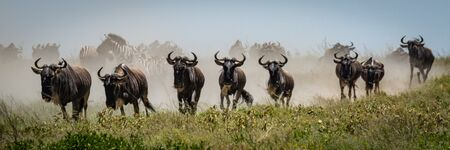Panorama of blue wildebeest galloping in grass