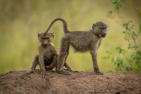 Olive baboons sit and stand on ridge Standard-Bild