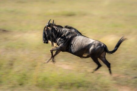 Slow pan of blue wildebeest in sunshine