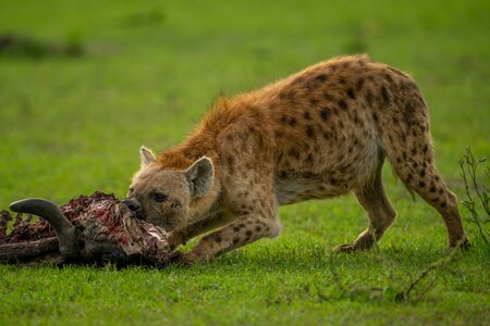 Spotted hyena bends to chew wildebeest carcase Stock Photo - 144892425