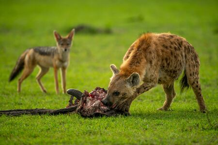 Spotted hyena bites carcase watched by jackal Stock Photo