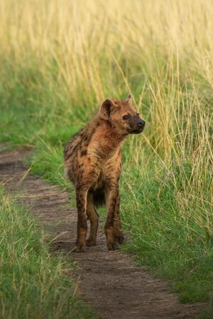 Spotted hyena stands turning head on track