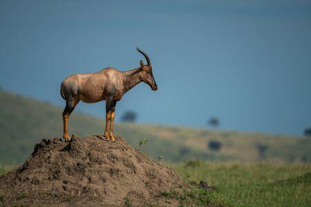 Topi stands on termite mound in profile