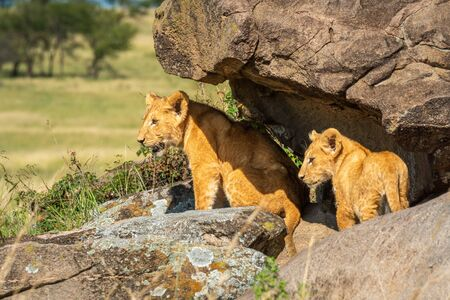Two lion cubs stand under rocky overhang
