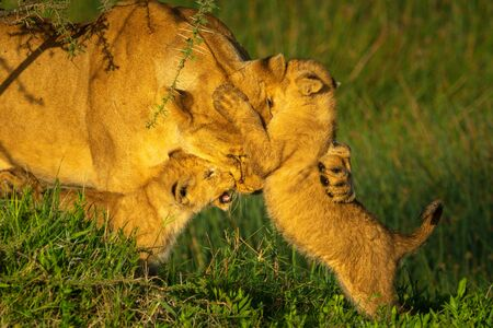Two cubs playing with lioness in grass Foto de archivo