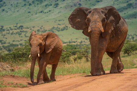 Two African elephants walk along dirt track Standard-Bild