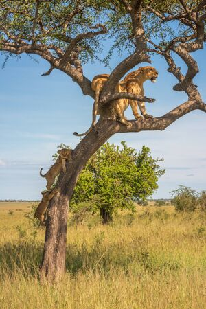 Two cubs follow two lionesses up tree
