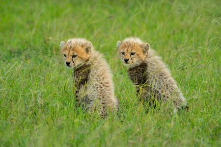 Two cheetah cubs sit side-by-side in grass