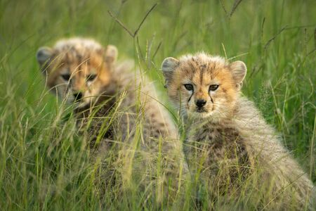 Two cheetah cubs sit side-by-side watching camera Standard-Bild