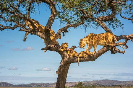 Two lionesses in tree with four cubs