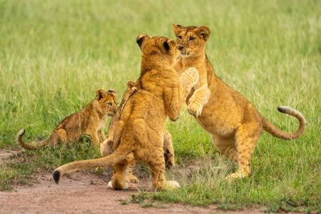 Two lion cubs play fighting beside others