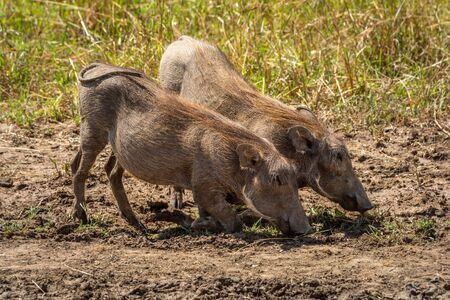 Two common warthog kneel grazing in grass
