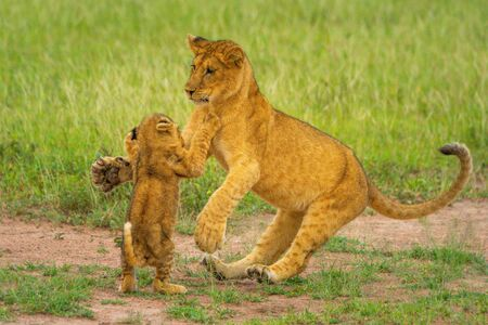 Two lion cubs fighting on hind legs