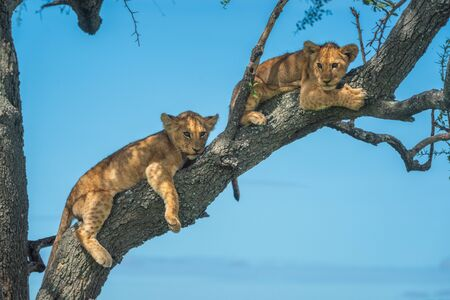 Two lion cubs lie on tree branch