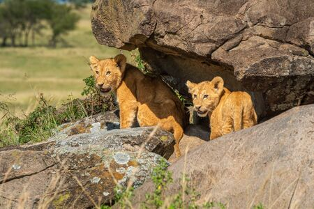 Two lion cubs standing under rocky overhang