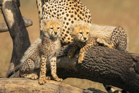 Two cheetah cubs look right from branches