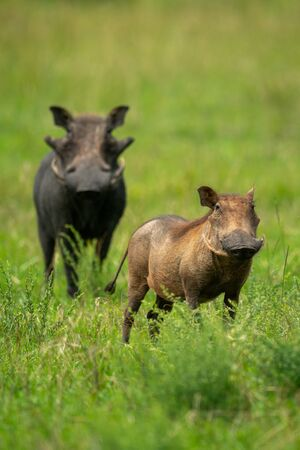 Two common warthog stand in long grass Standard-Bild