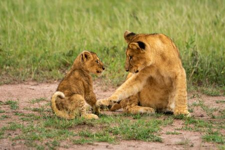 Two lion cubs sit together on grass