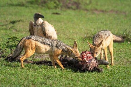 Two black-backed jackal feed on wildebeest carcase