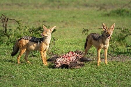 Two black-backed jackal stand guarding wildebeest carcase