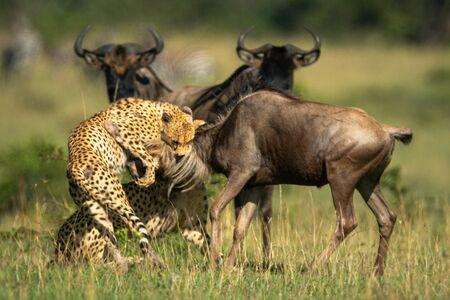 Two cheetah hold blue wildebeest by neck Standard-Bild