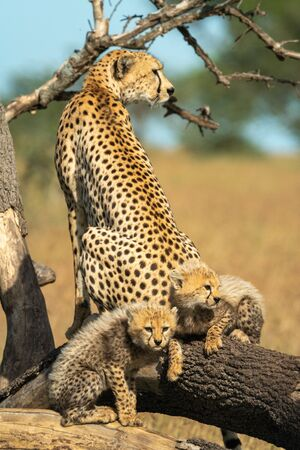 Two cubs lie behind cheetah on branch