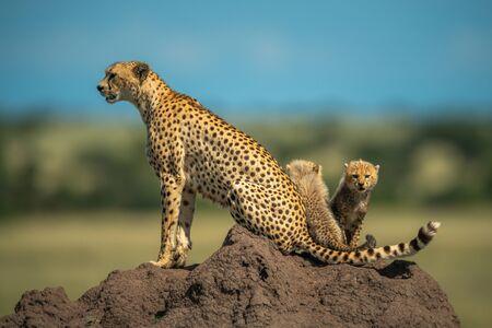 Two cubs sitting behind cheetah on mound