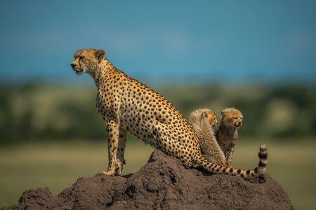 Two cubs sit behind cheetah on mound