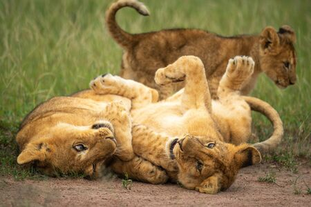 Two lion cubs play on their backs