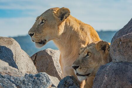 Two lionesses lie and sit by rocks