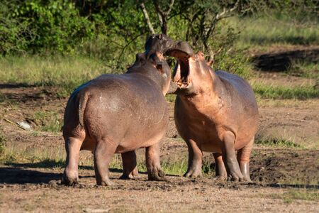 Two hippo open mouths at each other Standard-Bild