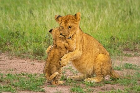 Two lion cubs sit fighting in grass