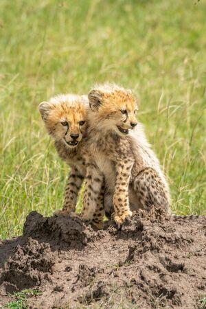 Two cheetah cubs sit on termite mound