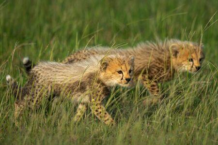 Two cheetah cubs walk through long grass Standard-Bild