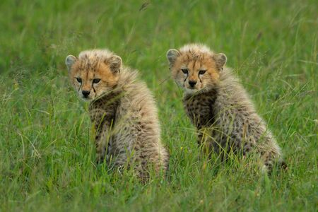 Two cheetah cubs sit together in grass Standard-Bild