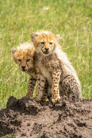 Two cheetah cubs sitting on termite mound Standard-Bild