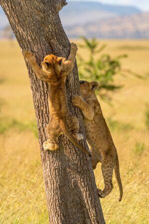 Two lion cubs climb tree on savannah
