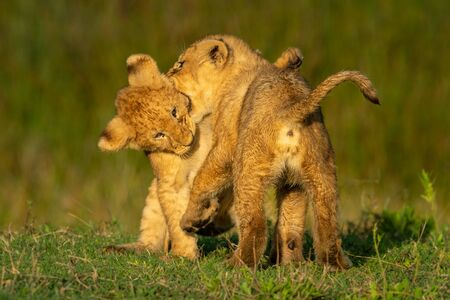 Two lion cubs playfully bite each other Standard-Bild