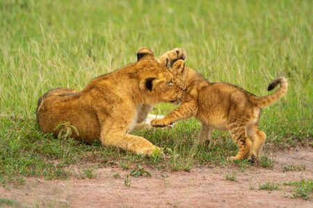 Two lion cubs play fight in grass Standard-Bild