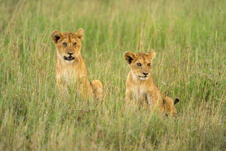 Two lion cubs look right in grass Standard-Bild