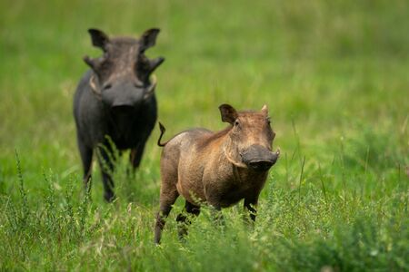 Two common warthog standing in long grass