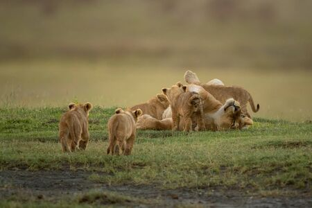 Two cubs approach lioness nursing three others