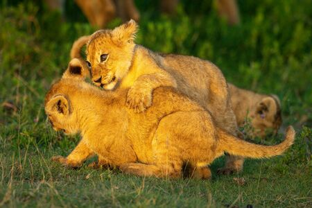 Two lion cubs play fight on grass Standard-Bild